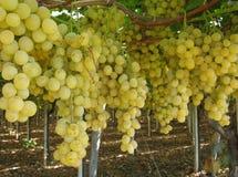 Rijpe witte druiven in een Italiaanse Wijnmakerij stock foto's