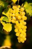Rijpe witte druivenn wijngaard in de herfst vlak vóór oogst royalty-vrije stock foto's