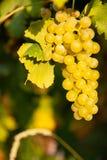 Rijpe witte druivenn wijngaard in de herfst vlak vóór oogst stock afbeelding