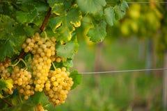 Rijpe witte druivenn wijngaard in de herfst vlak vóór oogst royalty-vrije stock foto