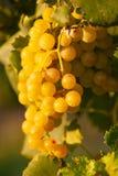 Rijpe witte druivenn wijngaard in de herfst vlak vóór oogst stock foto