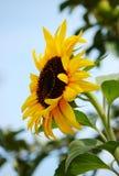 Rijpe zonnebloem Royalty-vrije Stock Fotografie
