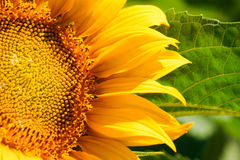 Rijpe zonnebloem op gebied Royalty-vrije Stock Foto's