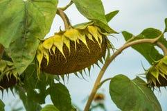 Rijpe zonnebloemen op het gebied Royalty-vrije Stock Foto