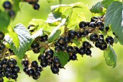 Rijpe zwarte bes in tuin royalty-vrije stock afbeeldingen