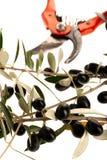 Rijpe zwarte die olijven op een tak over witte achtergrond wordt geïsoleerd royalty-vrije stock foto