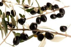 Rijpe zwarte die olijven op een tak over witte achtergrond wordt geïsoleerd royalty-vrije stock foto's