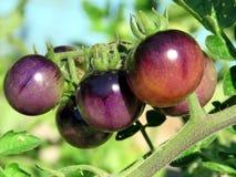 Rijpen de Hoge het Park bruine tomaten van Toronto 2016 Royalty-vrije Stock Foto's