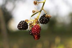 Rijpend Blackberry Stock Afbeelding
