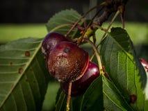 Rijpend kersenfruit besmet door de verrotting van het kersenfruit royalty-vrije stock fotografie