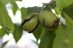 Rijpend okkernootfruit De herfstnoot okkernoot stock foto