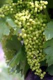 Rijpende Druiven Royalty-vrije Stock Fotografie