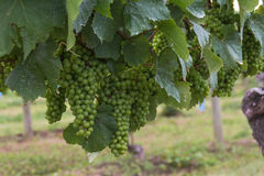 Rijpende druiven op wijnstok Stock Foto