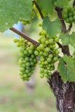 Rijpende druiven op wijnstok Stock Afbeeldingen