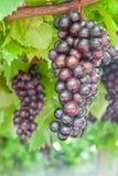 Rijpende druivenclusters op de wijnstok royalty-vrije stock foto