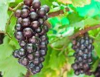 Rijpende druivenclusters op de wijnstok royalty-vrije stock afbeeldingen