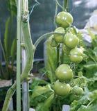 Rijpende Groene Tomaten Royalty-vrije Stock Afbeeldingen