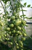 Rijpende Groene Tomaten royalty-vrije stock afbeelding