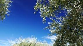 Rijpende olijfbomen die in de wind met het bewegen van wolken en blauwe hemel blazen stock video