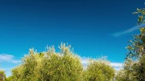 Rijpende olijfbomen die in de wind met het bewegen van wolken en blauwe hemel blazen stock footage