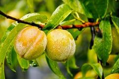 Rijpende perziken Stock Afbeeldingen