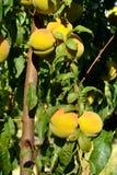 Rijpende perziken die op de boom groeien Royalty-vrije Stock Afbeelding