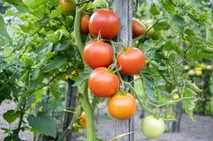 Rijpende rode tomaten in tuin, klaar te oogsten royalty-vrije stock afbeelding