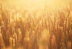 Rijpende tarwe en zonsopganghemel stock fotografie