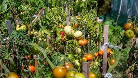 Rijpende tomaten in een de zomer, hete, Augustus-dag in een huistuin en huisserre stock afbeeldingen
