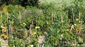 Rijpende tomaten in een de zomer, hete, Augustus-dag in een huistuin en huisserre royalty-vrije stock foto