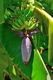 Rijpende vruchten banaan Stock Foto's