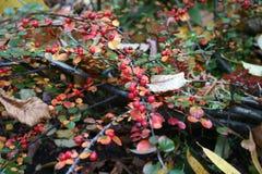 Rijpheid van de herfst Stock Foto's