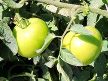 Rijpt het Hoge Park van Toronto de tomaten 2016 Stock Afbeelding
