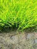 Rijst Stock Foto