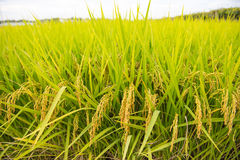 Rijst royalty-vrije stock fotografie