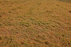 Rijst bij het oogsten van periodeinstorting van de schade van de winderige voorwaardenoorzaak aan de kwaliteit van de rijstkorrel stock afbeelding