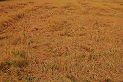 Rijst bij het oogsten van periodeinstorting van de schade van de winderige voorwaardenoorzaak aan de kwaliteit van de rijstkorrel stock fotografie