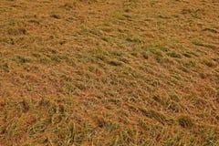 Rijst bij het oogsten van periodeinstorting van de schade van de winderige voorwaardenoorzaak aan de kwaliteit van de rijstkorrel royalty-vrije stock afbeeldingen
