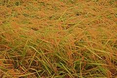Rijst bij het oogsten van periodeinstorting van de schade van de winderige voorwaardenoorzaak aan de kwaliteit van de rijstkorrel stock afbeeldingen
