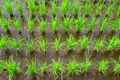 Rijst in de rijen Stock Fotografie
