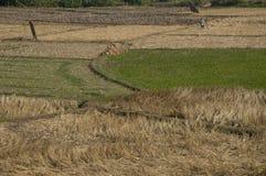 Rijst die in Thailand bewerken Stock Foto's