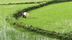 Rijst die, Vietnam bewerken Stock Afbeeldingen