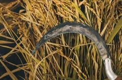 Rijst en een sikkel in padiepadieveld royalty-vrije stock foto