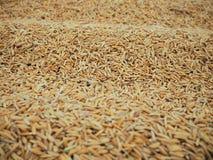 Rijst en padie Royalty-vrije Stock Fotografie