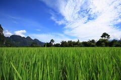 Rijst field1 Stock Foto