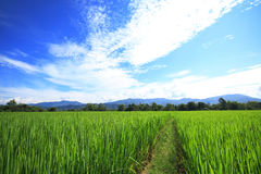 Rijst field2 Stock Afbeeldingen