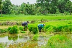 Rijst - Graangewasseninstallatie, Graangewasseninstallatie, Installatie, Azië, Thailand stock fotografie