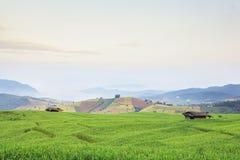 Rijst groen gebied Stock Foto's