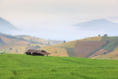 Rijst groen gebied Stock Foto