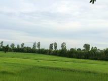 Rijst in het landbouwbedrijf Stock Afbeeldingen